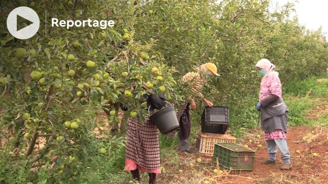 Cover - Sefrou - récolte des pommes