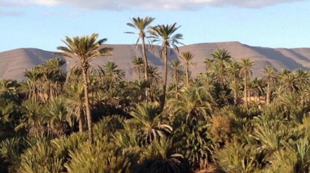 L'intelligence artificielle pour en finir avec le charançon rouge, l'insecte qui ravage des palmiers-dattiers marocains