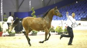 cheval Barbe
