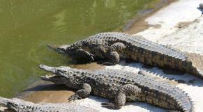 crocodiles Agadir