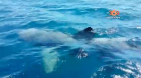 Cover Vidéo... سمكة قرش ضخمة تقترب من شواطئ الفنيدق