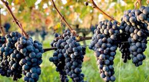 Raisins vigne agriculture