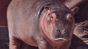 bebe hippopotame