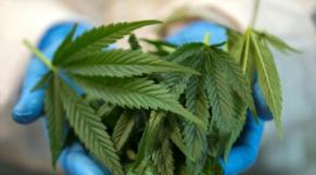 Cannabis feuilles