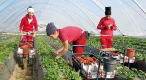 Travailleurs agricoles saisonniers marocains Espagne