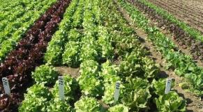Agriculture Foum El Oued
