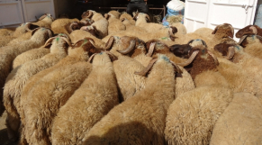 Moutons aid