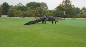 Alligator sur le green