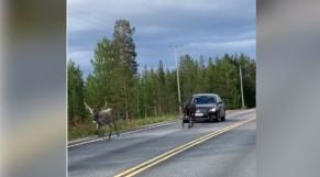 Cover Vidéo - Au pays du père Noël, les rennes sont rois