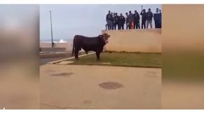 taureau rabat 1