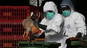 La grippe aviaire envahit les Philippines