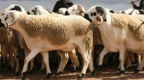 Moutons Aïd Sebta