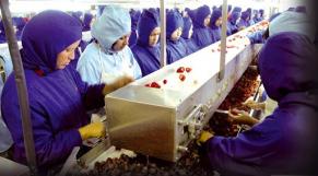 Usines de fraises