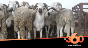 Cover Vidéo - الصردي.. هذه أسعار أهم سلالة الأكباش بالمغرب