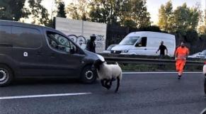 Un mouton s'échappe