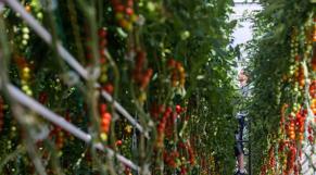 Tomates-cerises en grappes