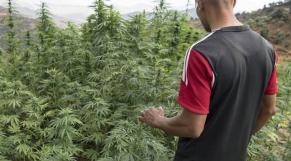 Cannabis Cultivateur