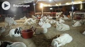 Vidéo. Sénégal: des moutons à plus de 3.000 euros pour la tabaski des célébrités
