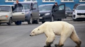 Ours polaire - Réchauffement climatique - Russie - Climat