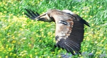vautour1