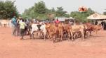 vente de bovins Mali