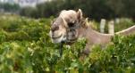 Maroc: Goliath le dromadaire souiri qui produit l'unique vin bio du Maroc