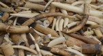 trafic d'ivoire