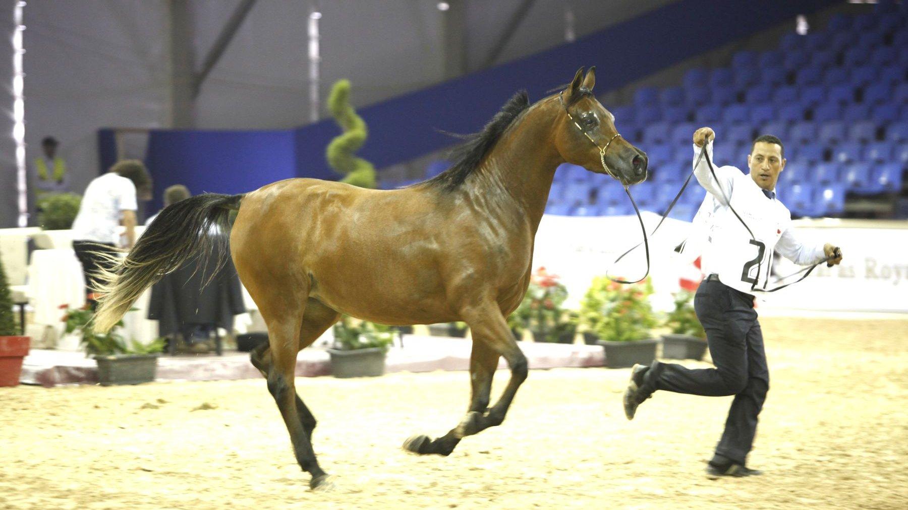 le salon du cheval d 39 el jadida en images