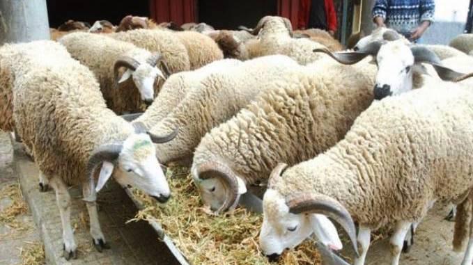Casablanca: 516.000 têtes ovines disponibles pour Aïd al-Adha