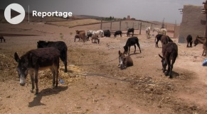 "Cover Vidéo - ملجأ ""جرجير"" للحمير المتقاعدة والمصابة في المغرب"