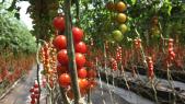 DAKHLA Tomates Cerises