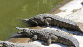 crocodiles Agadir