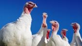 poules