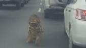 tigre qatar