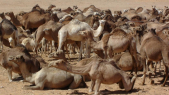 camelins
