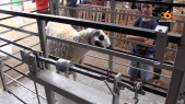 mouton poids