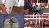 animaux souk laayoune