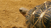 TORTUES INDIENNES