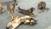 chiens abattage