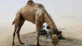 chameaux Arabie saoudite