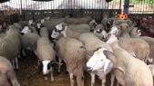 Aid Al Adha mouton