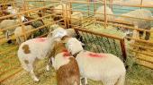 Moutons-infectés