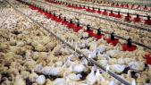 élevage poulets