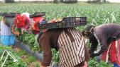 Travailleuses agricoles plantation de fraises