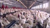 volailles secteur avicole