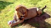 Lions Zoo de Rabat