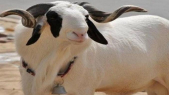 Moutons Ladoum du Sénégal