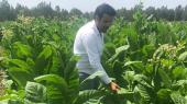 champs de tabaculture