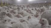 poulets France