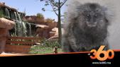 Cover_Vidéo: Le360.ma • بعد التماسيح والثعابين.. القردة البرازيلية تحل بأكادير